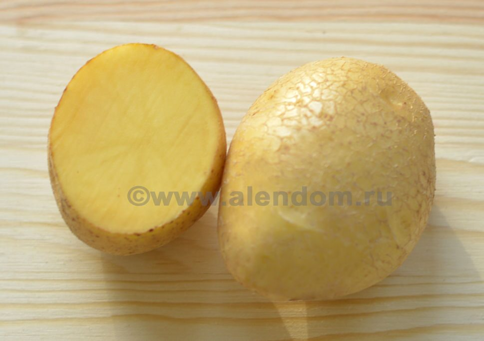 картофель венета фото